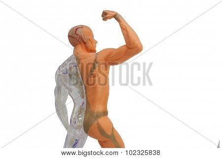 Isolated human anatomy model