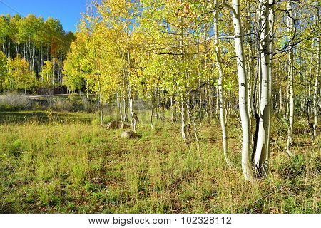 Yellow And Green Aspen During Foliage Season
