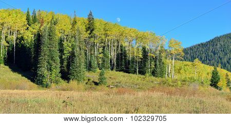 Yellow And Green Aspen And During Foliage Season
