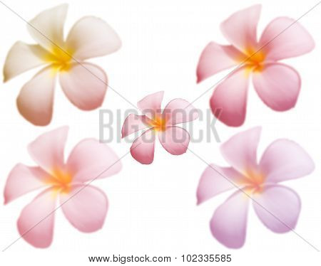 Blur Frangipani Flower Or Plumeria Flower On Whitebackground With Colorful Filter, Focus Flower At C