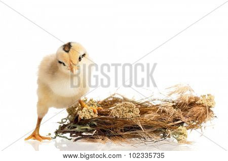 Newborn chick in the nest isolated on white background
