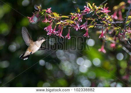 Hummingbird (archilochus Colubris) In The Garden