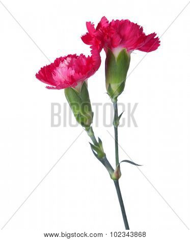 Two carnations isolated on white background. Shallow depth of field