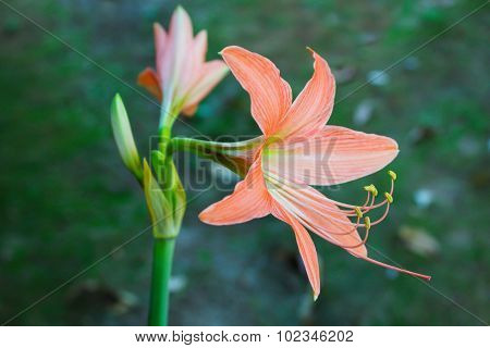 Big Orange Flowers, Hippeastrum Amaryllis.