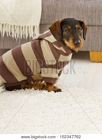 Cute dog in hooded jumper at home.
