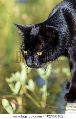 Black Cat Standing At The Garden Pond,  Animal Portrait