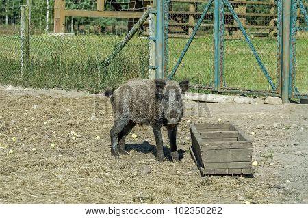 Wild Hog At The Trough
