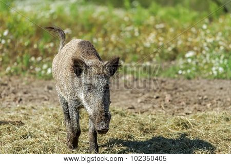 Wild Hog Goes