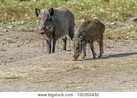 Two Wild Hog