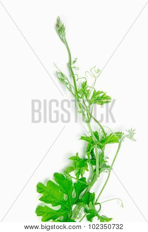 Green Creeping Plant On White Background