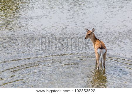 Sika deer waliking in the river