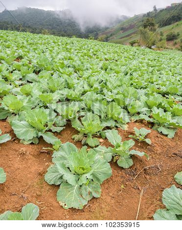 Cabbage Plantation On The Mountain