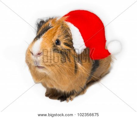 Guinea Pig In Christmas