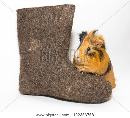 Guinea Pig And Russian Boots