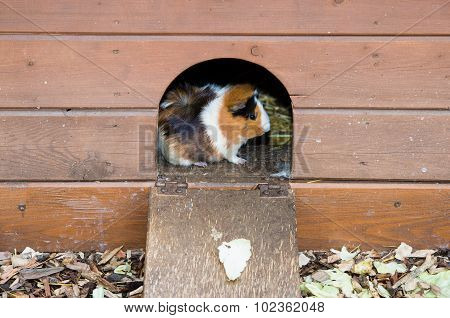 A guinea pig  looking from  wooden house.