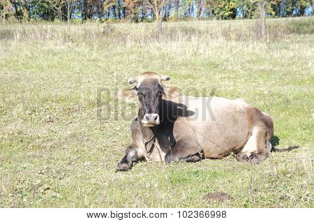Cow lie on the green field