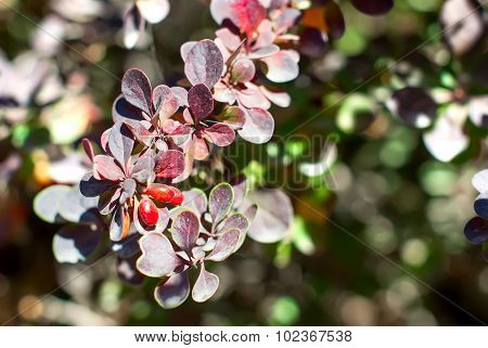 Barberry Bush With Berries Ripen