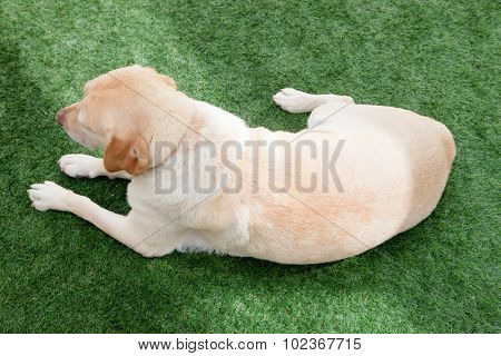 Nice golden labrador dog lying on the grass seen from above