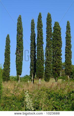 7 Cypresses