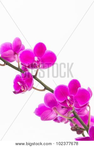 Small Purple Moth Orchids Close Up