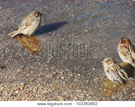 Three sparrows in a puddle