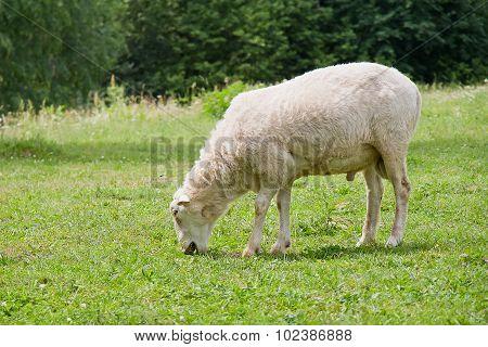 White Hornless Ram