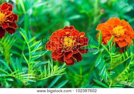 Very Beautiful Marigolds