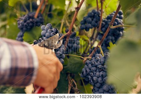 Male Hands With Garden Secateurs And Freshly Blue Grapes At Harvest, Toned