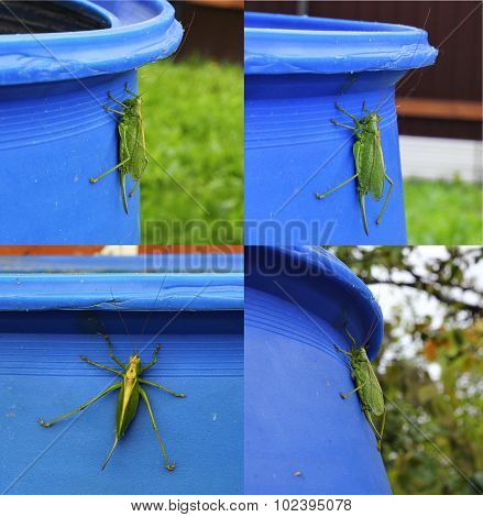 large green grasshopper