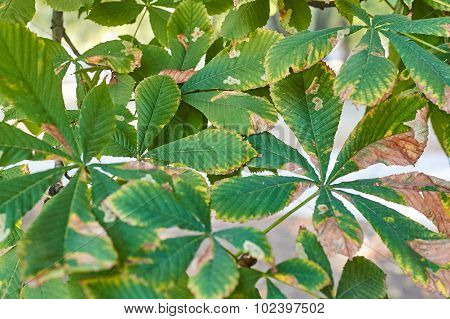 Background Of A Chestnut Leaves