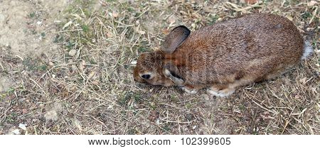 Young Rabbit With Long Ears And A Shiny Coat