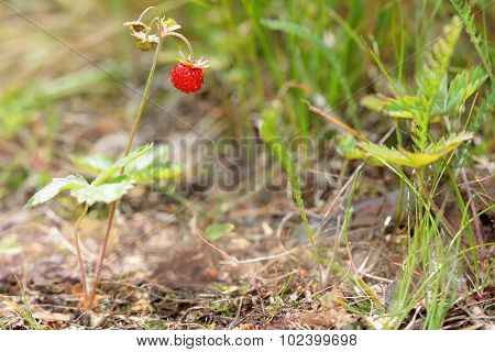 Berry of wild strawberry in the forest on bush