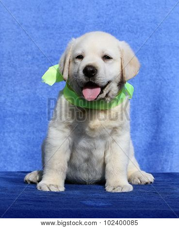 The Cute Nice Labrador Puppy On A Blue Background