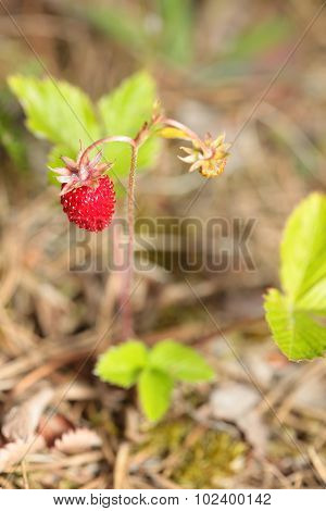 Bush of wild strawberries in the woods. Fragaria