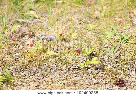 Forest glade with wild strawberries