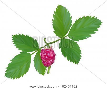 illustration with red ripe raspberry and green leaves isolated on transparent background