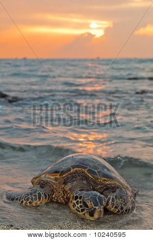 Sea Turtle During Sunset