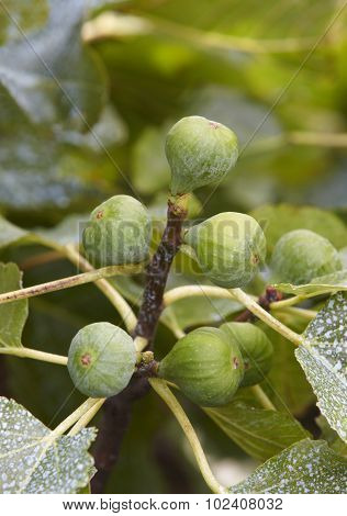 Figs In The Tree With Out Of Focus Green Background