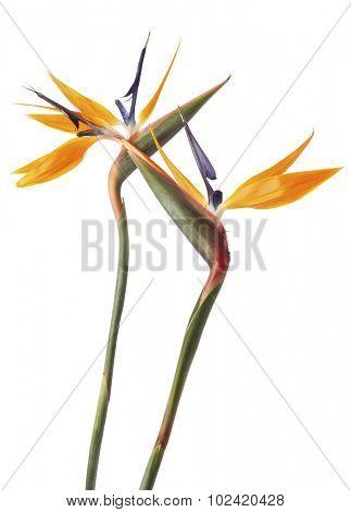 Two Strelitzia or Bird of paradise flowers isolated on white background
