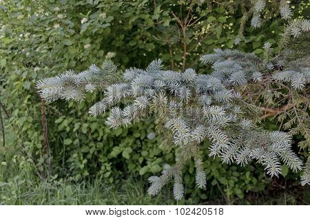 View on the branch of blue fir tree or blue spruce