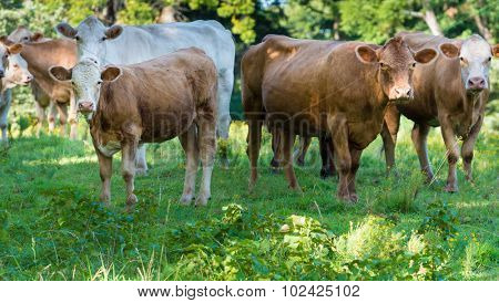 A herd of beef cattle grazing on farm land