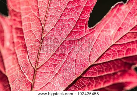 Macro Image Of Red Autumn Leaf With Small Depth Of Field.