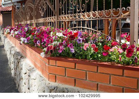 Petunia Flowers In Pots Outside Windows