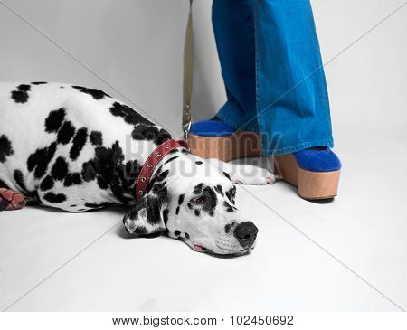 Cute Dog Dalmatian Dull On The Floor