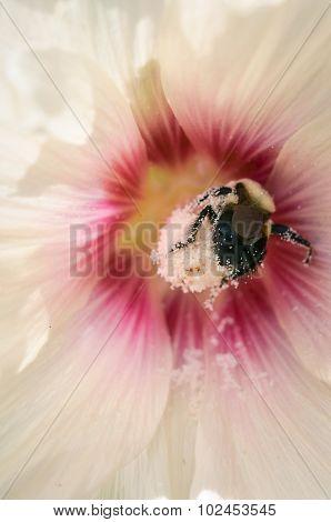 Bumblebee On Hollyhock