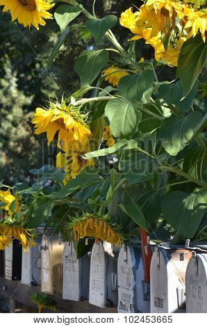 Sunflowers And Mailboxes