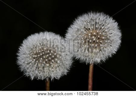 Two White Dandelion On A Black Background