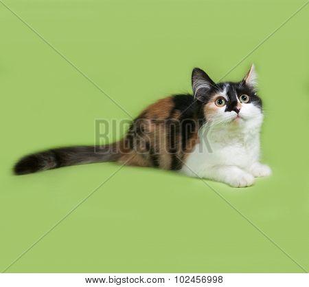 Tricolor Fluffy Kitten Lies On Green