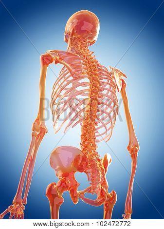 glass skeleton illustration - the spine
