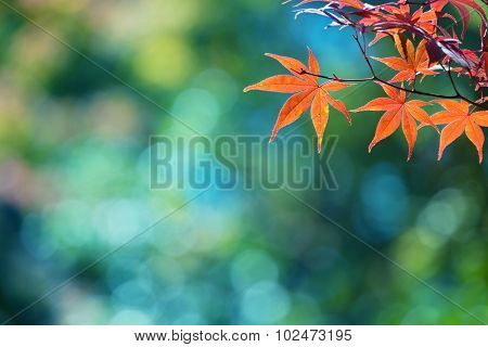 Beautiful colors of autumn. Red Japanese maple with blue green bokeh background. Colorful spectrum of autumn colors. Shallow depth of field.